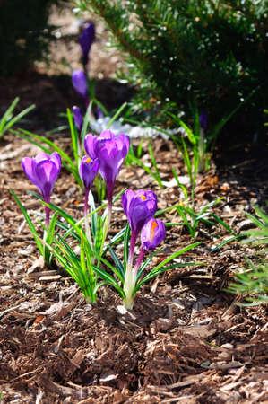 Purple Crocus flowers on brown mulch