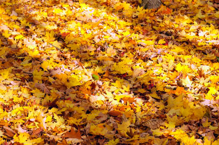 Shadows on yellow maple leaves