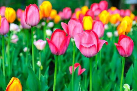 Assorted Tulips Stock Photo