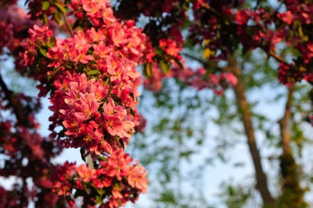 Spring apple tree blossoms Stock Photo