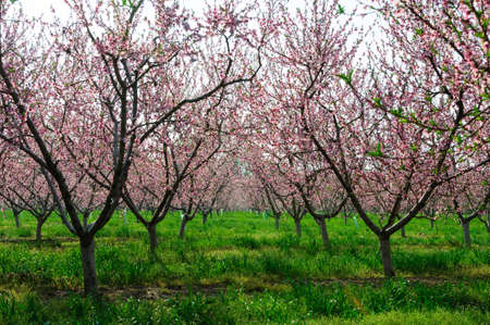 Spring Peach blossoms