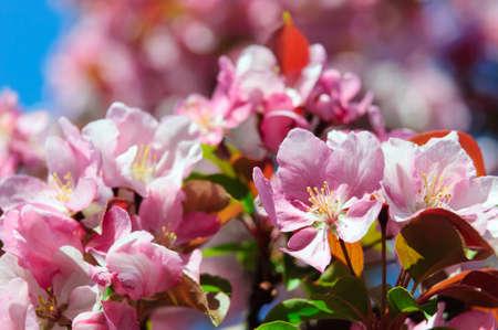 Spring Peach blossoms Stock Photo