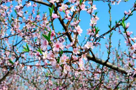 Spring Peach blossoms Reklamní fotografie