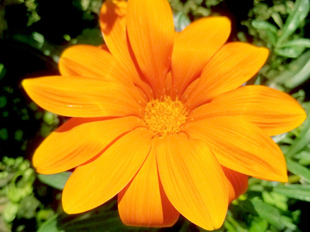 Big orange flower sun spring