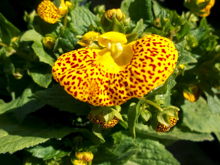 Yellow bean flower