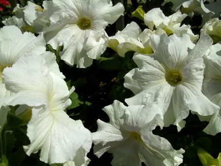 White flowers sunlight garden