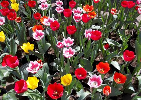 Greenhouse tulip