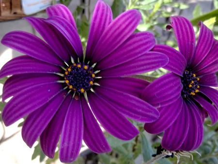 Big purple mystic flower