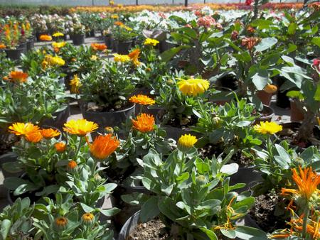 Greenhouse yellow flowers