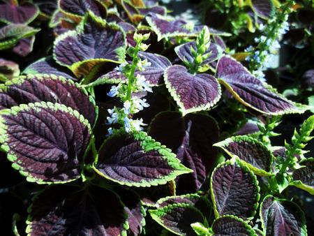 Purple leafs mystic