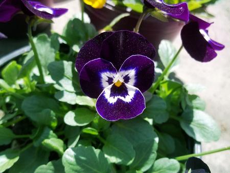 Purple mystic flower