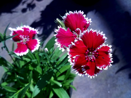 Red and white flowers Banco de Imagens
