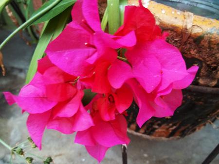 Magenta flower in the garden Banco de Imagens - 101446060