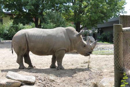 quadruped: Rhinoceros in the zoo