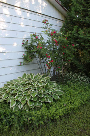 Hostas and red roses plant in the garden