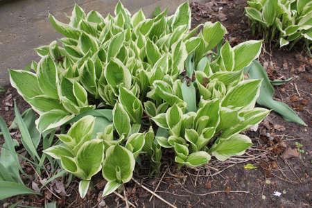 hostas: Hostas in the garden Stock Photo