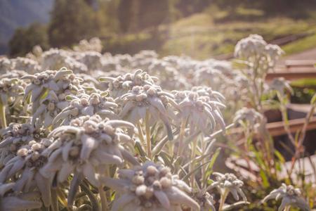 Edelweiss de hoogte