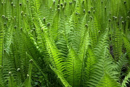 Young green fern thickets in spring. Natural plant background of fern.