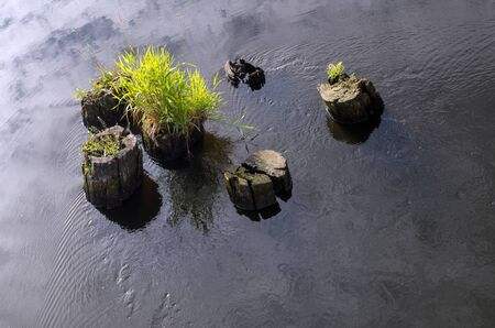 A group of stumps washed by water of the river, one of them with thick head of green hair.