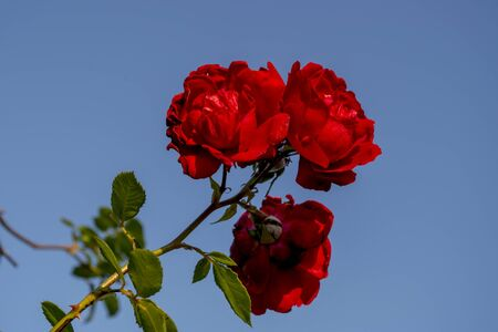 Three beautiful tea roses odorata of scarlet color with shiny velvety petals on one twig on the background of a gentle blue sky. Natural organic background for invitation, wallpaper or postcard. 免版税图像