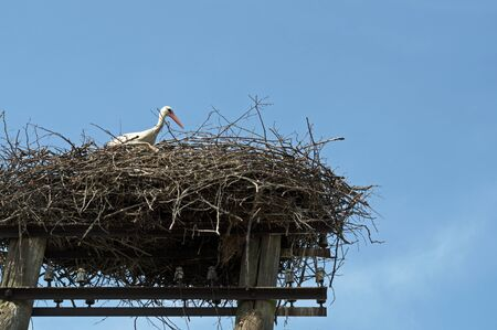 A white stork in a large sprawling nest of gray branches on a rustic wooden power line pole with a crossbar and insulators against a clear blue sky Stock Photo
