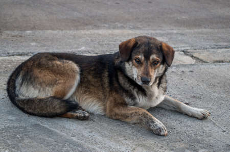Homeless mongrel dog of gray-brown color with white chest and long hair, fluffy tail and hanging ears lies on gray sidewalk of street near the road looking straight with kind tired slightly puffy eyes