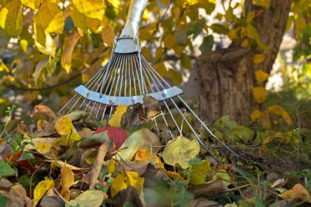 Working metal part of the garden's rake standing at the trunk of an apple tree next to the collected pile of autumn yellow and red dead leaves on the background of Apple branches and yellow foliage Zdjęcie Seryjne