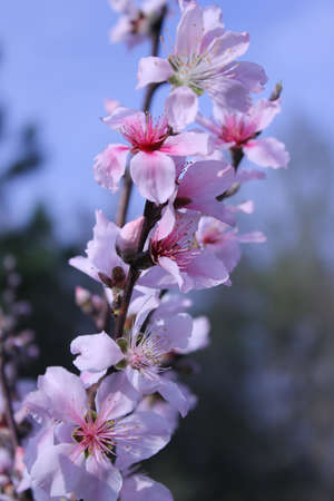 peach tree: Beautiful pink peach blossoms on a peach tree branch outdoors. Stock Photo
