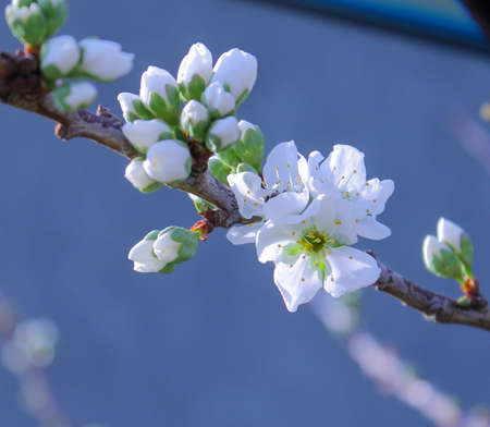 plum tree: Beautiful white plum blossoms and buds on plum tree branch outdoors. Stock Photo