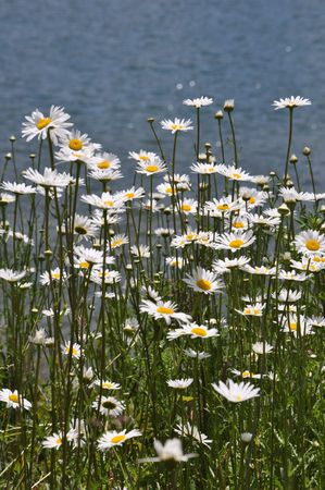 daises: Daises by the lake on a beautiful summer day.