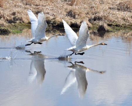water fowl: Swans taking off for flight.
