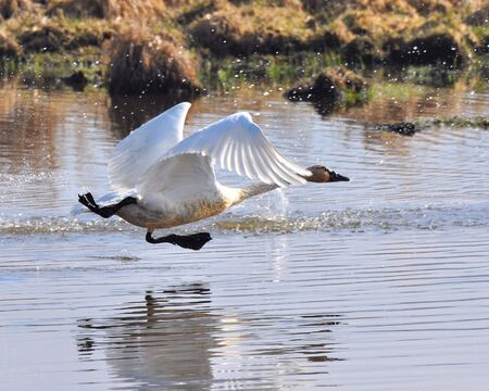 swan taking off from a lake Stock Photo