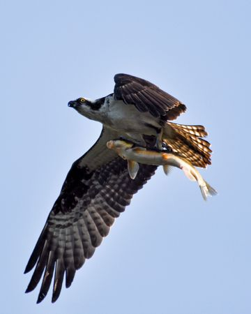 Osprey carrying a fish back to its nest.