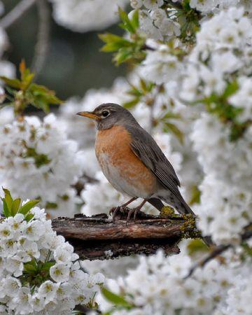 Robin in een kersenboom