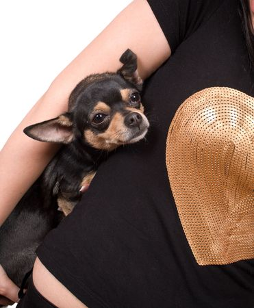 mistress: chihuahua con la sua padrona isolated on white with clipping path