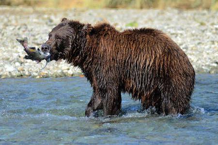 Bear fishing for salmon Stock Photo