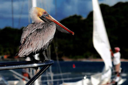 Pelican with a sail in the background
