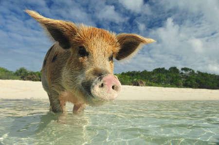 Swiming pigs in Exumas