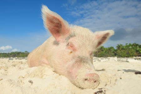 Swiming pigs in Exumas sleeping on beach