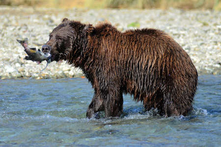 Alaska Grizzly Bear fishing for salmon