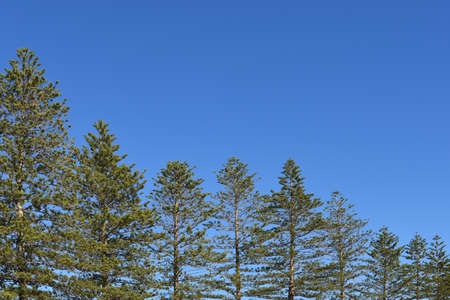 Norfolk pines descending in size with blue sky copy space