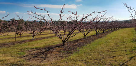 Stone fruit trees in blossom at springtime  Stok Fotoğraf