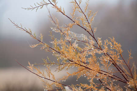 bush in the winter fog, with dew drops photo
