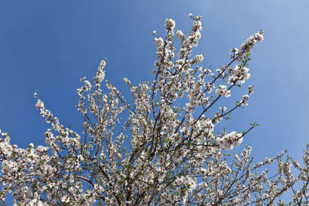 almond bud: almond blossoms in spring Stock Photo
