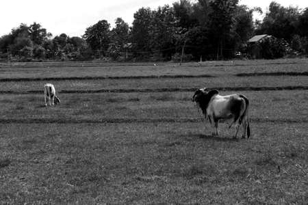 ox: Ox looks cow,Thailand