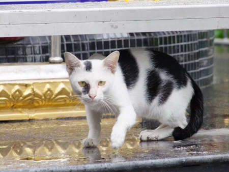 plucky: Cat in temple, Thailand Stock Photo
