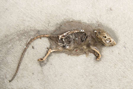 dead rat: Dead Rat Stock Photo