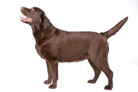 Dog labrador brown on white background