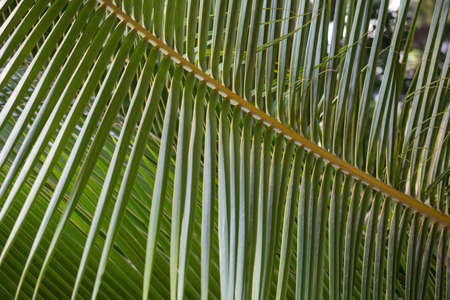 background textures: Lines and textures of green palm leaves, close-up, background Stock Photo