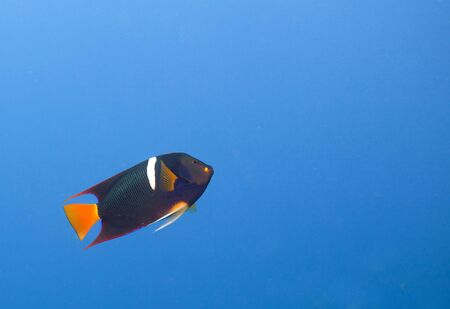 A single King Angelfish (Holocanthus passer) swimming up. Off center for copy space. Stock Photo - 11772206